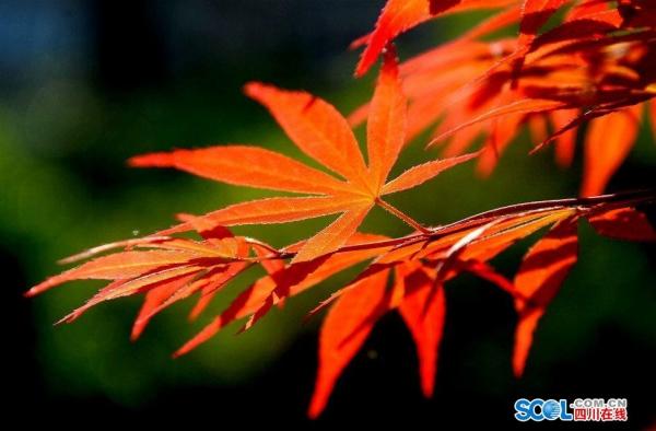绚丽的红枫叶红满都市大街小巷 - 四川日报网